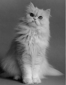 ペルシャ猫(チンチラ猫の火葬をお探しの方は、猫の火葬で好評な当園をご利用ください。ご来園は、ペットの猫と一緒に来ても大丈夫です。